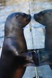 Sea lion looking to mirror Stock Photos