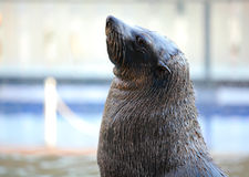 Sea lion looking up Royalty Free Stock Images