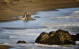 Sea Lion Love. Two sea lions get close on a California beach at sunset Royalty Free Stock Photography