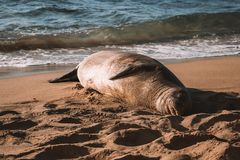 Wildlife resting among people on the beach . stock photos