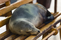 Sea Lion lying on a bench Stock Image