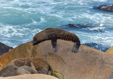 Sea lion lying down on rock stock images