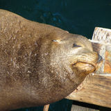 sea lion lying on pier Stock Photo