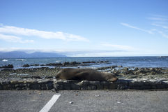 Sea lion lying beside a road Stock Photos