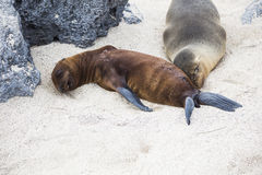 Sea Lion lying Stock Photography