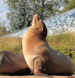 Sea Lion a macro shot Royalty Free Stock Image