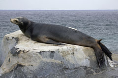 Sea Lion male. Male Sea Lion in the mood to mate Royalty Free Stock Image