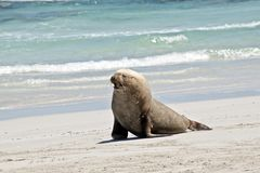 A sea lion. The male sea lion is walking along the sandy beach Royalty Free Stock Images