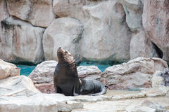 Sea lion mammal aquatic coasts of south africa atlantic ocean. Royalty Free Stock Image