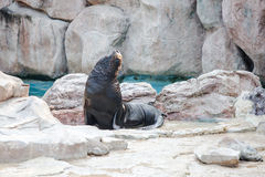 Sea lion mammal aquatic coasts of south africa atlantic ocean. Stock Images