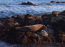 Sea lion in Monterey. Monterey Bay sleeping sea lion. California coastal animal.   Wildlife Stock Photo
