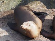 Sea lion in Monterey Stock Photos