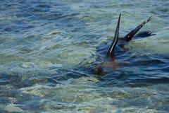 Sea Lion at Mosquera Island, Galapagos Stock Photo