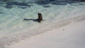 Sea Lion at Mosquera Island, Galapagos Royalty Free Stock Photography