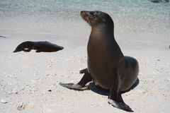 Sea Lion on Mosquera Island Royalty Free Stock Images