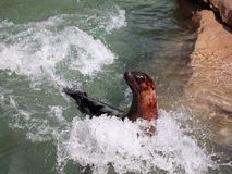 Sea Lion in motion Stock Photography