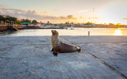 Sea lion near the beach in San Cristobal before sunset ,Galapagos Stock Images