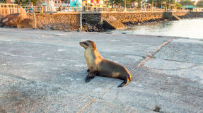 Sea lion near the beach in San Cristobal before sunset ,Galapagos Stock Photography
