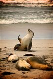 Sea Lion on Near Seashore during Daytime Stock Images