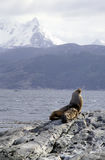 Sea lion near Ushuaia stock photo