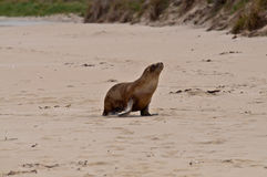 Sea Lion. A sea Lion in a New Zealand beach Stock Images