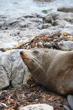Sea lion on New Zealands shore Stock Photos