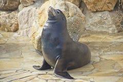 Sea lion next to a pool Stock Image