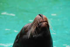 Sea Lion Nose and Whiskers Royalty Free Stock Images