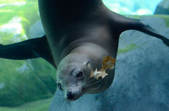 Sea lion and oak leaf2 Stock Photo
