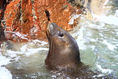 Sea lion in ocean. Portrait of sea lion in ocean with rocks in background Stock Photos