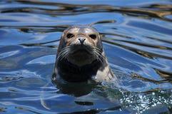 Sea lion in the ocean. Near California Stock Photos