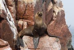 Free Sea Lion On Ballestas Islands Royalty Free Stock Images - 7547719