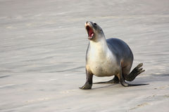 Sea lion one Royalty Free Stock Image