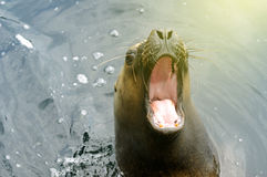 Sea lion with open mouth on sunny day. Bautiful sea lion Otaria byronia - South American Sea Lion with open mouth. Useful file to illustrate animal diveristy Royalty Free Stock Photo