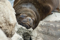 Sea Lion (Otaria flavescens) Stock Photo