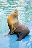 Sea Lion (Otarriinae) Sunbathing Royalty Free Stock Photography