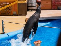 Sea Lion and Otter Stadium show in the famous SeaWorld. San Diego, JUN 27: Sea Lion and Otter Stadium show in the famous SeaWorld on JUN 27, 2018 at San Diego royalty free stock photography