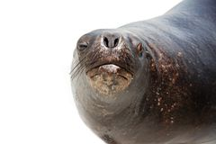 Sea lion over white Stock Images