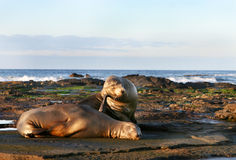 Sea Lion Pair Stock Photos