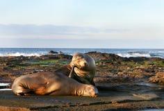 Sea Lion Pair stock photos
