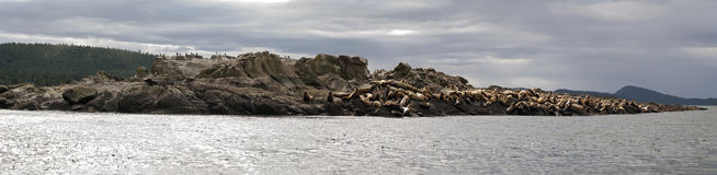 Sea Lion Panorama. A herd of Steller Sea Lions hauled out on the Belle Chain Islets in Southern British Columbia, Canada Royalty Free Stock Photos