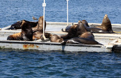 Sea Lion Party Stock Image