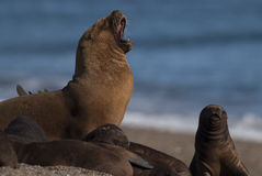 Sea lion Patagonia Argentina Royalty Free Stock Photo