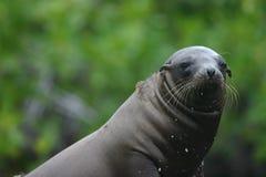 Sea Lion Peering Stock Images