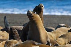 Sea Lion. Peninsula de Valdes.Argentina royalty free stock photography