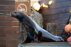 Sea Lion Performance. Stock Images