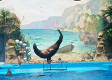 Sea lion performance. A cute sea lion performing a show Stock Image
