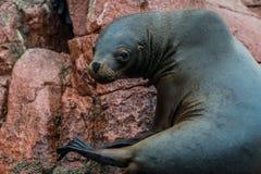 Sea lion peruvian coast at Ballestas islands Peru Stock Images