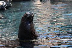 Sea lion. A picture of a sea lion in the water Stock Images