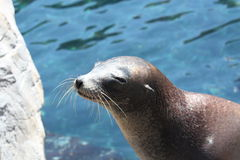 Sea lion. A picture of a sea lion in the water Royalty Free Stock Photography